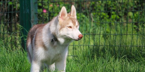 dogs_husky_mesh_grass_walk_59720_1920x1080