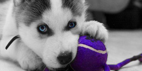 puppies-siberian-husky-puppy-693797