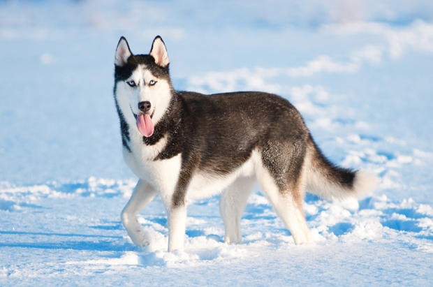 characteristics of siberian huskies Main characteristics siberian huskies are medium sized dogs that are commonly used in sled racing they have thick, dense coats that can be any colour.