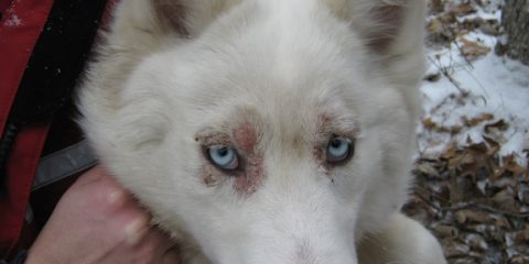 ' ' from the web at 'https://siberianhusky.com/wp-content/uploads/2015/08/skin1-480x240.jpg'
