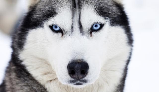 Tip On How To Correct Zinc Deficiency In Huskies Siberian Husky Siberianhusky Com