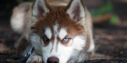 ' ' from the web at 'https://siberianhusky.com/wp-content/uploads/2016/08/Beautiful-Siberian-Husky-Dog-Images-7_Em-480x240.jpg'