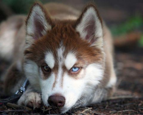 ' ' from the web at 'https://siberianhusky.com/wp-content/uploads/2016/08/Beautiful-Siberian-Husky-Dog-Images-7_Em-480x385.jpg'