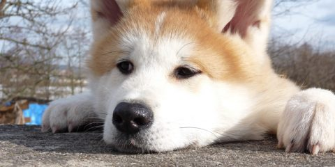 ' ' from the web at 'https://siberianhusky.com/wp-content/uploads/2016/09/AKITAINU_Easy-1-1-480x240.jpg'