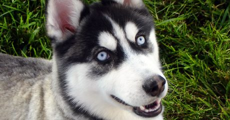 ' ' from the web at 'https://siberianhusky.com/wp-content/uploads/2016/09/eye-460x240.jpg'