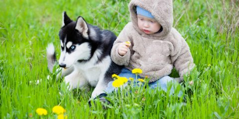 ' ' from the web at 'https://siberianhusky.com/wp-content/uploads/2016/09/husky-puppy-with-young-kid-1-480x240.jpg'