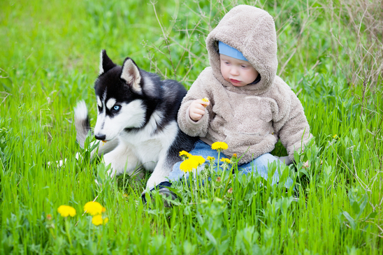 Train Your Siberian Husky Before Introducing To Your Newborn Baby