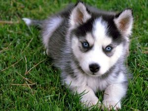 ' ' from the web at 'https://siberianhusky.com/wp-content/uploads/2016/09/puppyy11-300x225.jpg'