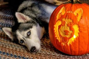 ' ' from the web at 'https://siberianhusky.com/wp-content/uploads/2016/10/halloween1-300x200.jpg'