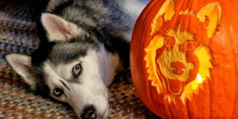 ' ' from the web at 'https://siberianhusky.com/wp-content/uploads/2016/10/halloween1-480x240.jpg'