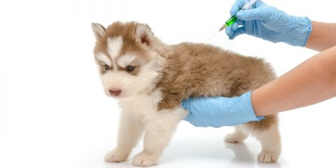 ' ' from the web at 'https://siberianhusky.com/wp-content/uploads/2016/10/vaccines-480x240.jpg'
