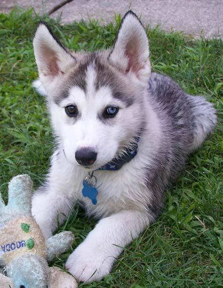 Important Notes In Training Siberian Huskies Siberian Husky
