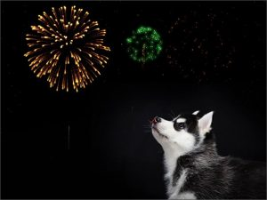 ' ' from the web at 'https://siberianhusky.com/wp-content/uploads/2016/12/firework-300x225.jpg'