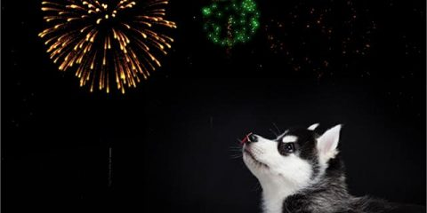 ' ' from the web at 'https://siberianhusky.com/wp-content/uploads/2016/12/firework-480x240.jpg'
