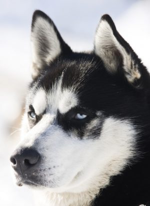 ' ' from the web at 'https://siberianhusky.com/wp-content/uploads/2017/01/2010-300x412.jpg'