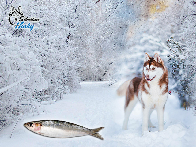 Is it safe to feed raw fish to your dogs siberian husky for Safest fish to eat 2017