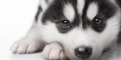 How To Deal With Teething Puppies Siberian Husky Siberianhusky Com