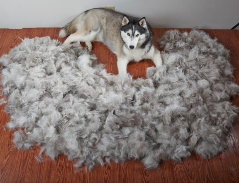 ' ' from the web at 'https://siberianhusky.com/wp-content/uploads/2017/04/shed3-480x367.jpg'