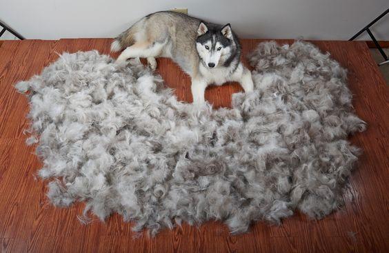 How To Deal With Shedding Siberian Husky Siberianhusky Com