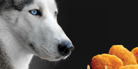 ' ' from the web at 'https://siberianhusky.com/wp-content/uploads/2017/11/HuskyFastFood-480x240.png'