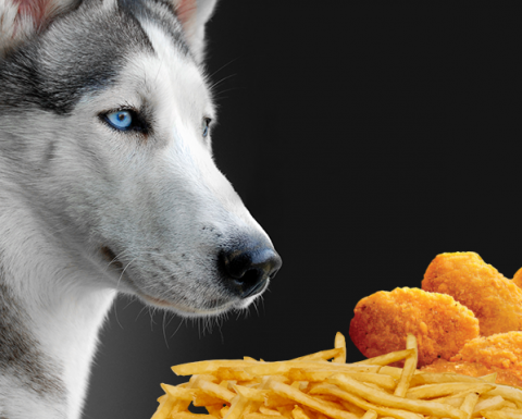 ' ' from the web at 'https://siberianhusky.com/wp-content/uploads/2017/11/HuskyFastFood-480x385.png'